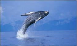 ZoomTravels-travel-turks-and-caicos-whale-breeching