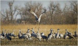 ZoomTravels-travel-nebraska-birding-sandhill-crane-migration