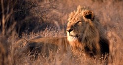 ZoomTravels-travel-south-africa-kruger-national-park-safari-lion
